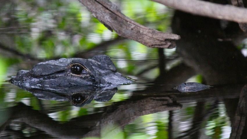 090218 Alligator Pestano