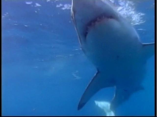 101108-great white shark