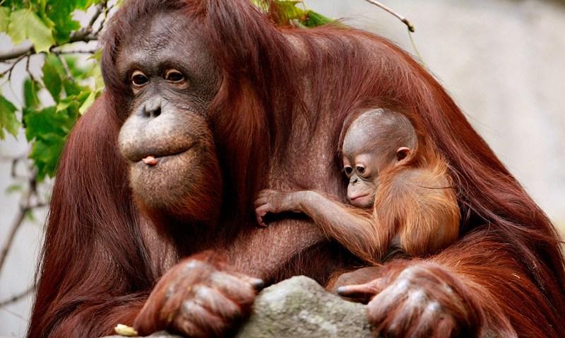 102308 Zoo Babies Orangutan p2