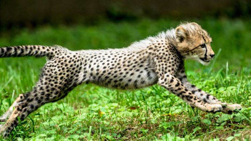 20131227 Cheetah