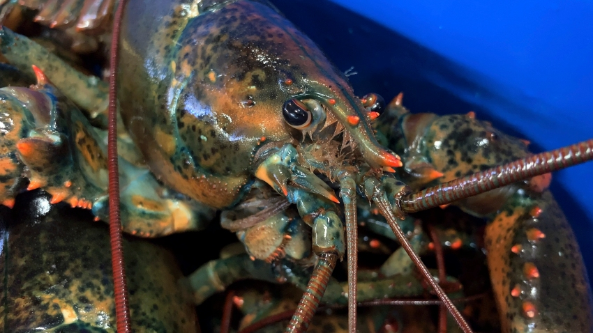 a lobster sits atop others at The Lobster Co., in Arundel, Maine