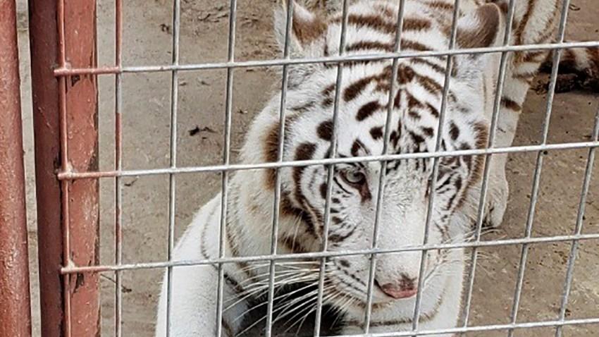 a white Bengal tiger