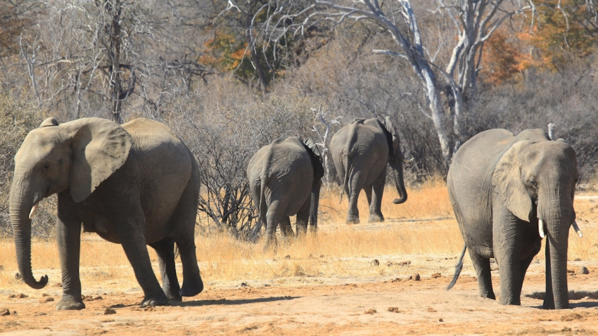 In this Aug. 6, 2015, file photo, elephants roam freely near a railway track in Hwange about 700 kilometres south west of Harare, Zimbabwe.