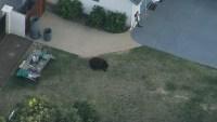 Bear Seen Wandering Through California Neighborhood