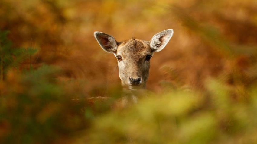 Deer32