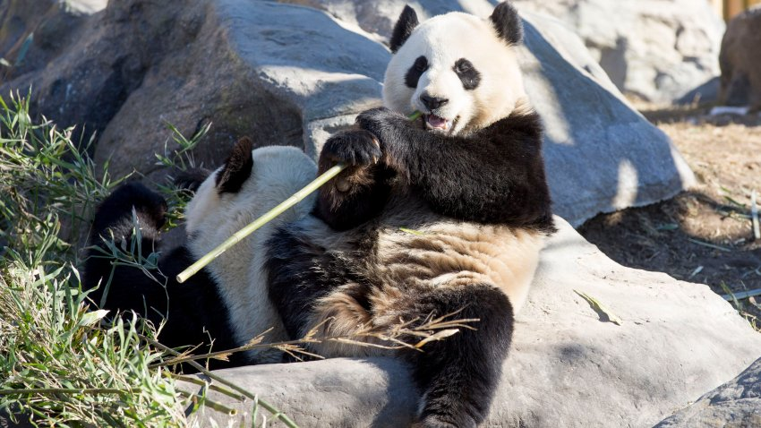 In this March 4, 2018, file photo, giant pandas Da Mao and Er Shun are seen at the Toronto Zoo before being moved to the Calgary Zoo.