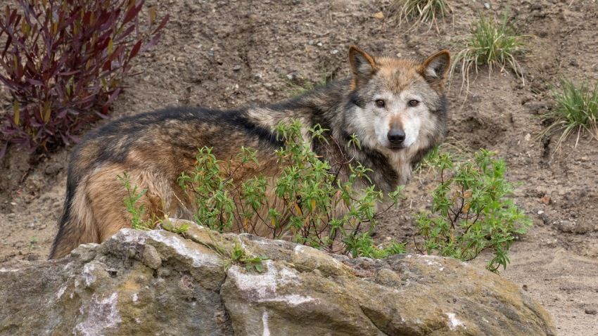 06-08-16-mexican-wolves-san francisco-zoo2