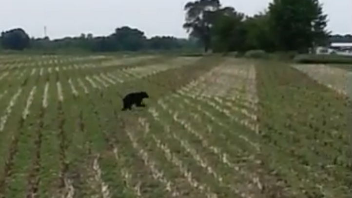 Illinois_bear_boone