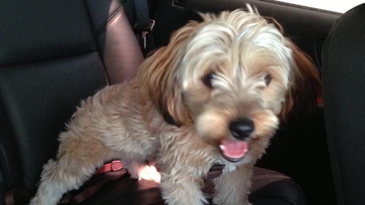 Lost puppy Fontainebleau Miami Beach