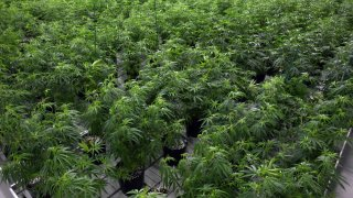 <strong> California Introduces Medical Research for Marijuana in 1999 </strong>