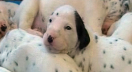 PHI dalmation puppy horizontal