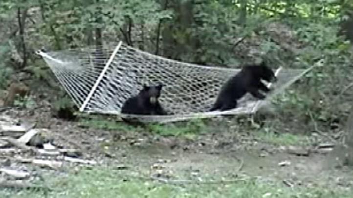 bears-on-hammock