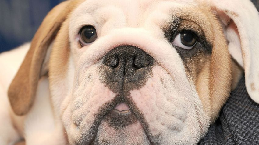 bulldog puppy