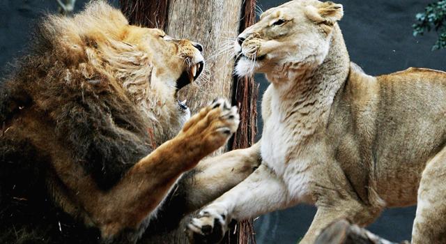 71692436IW004_Lions_Enclosu