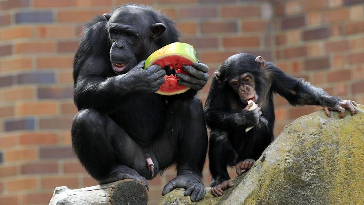 Australia Chimpanzees