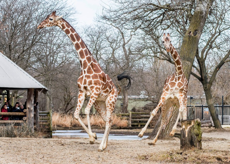 These Brookfield Zoo Giraffes Just Went Outside After Chicago's Long Winter, And Their Expression is All of Us