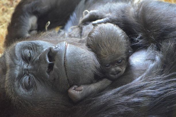 gnau gorilla 3LPZ gorilla 1
