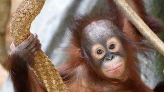 kecil-orangutan-zoo-brookfield-10