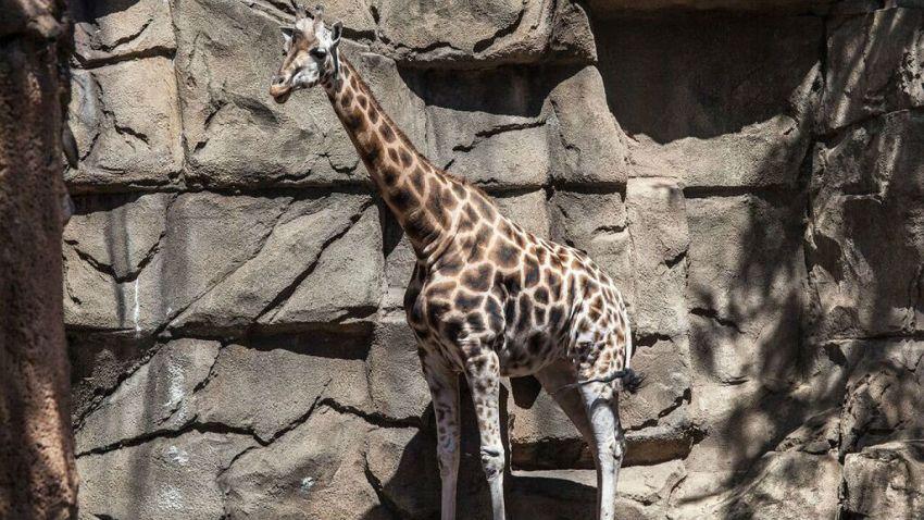lincoln park zoo giraffe dies