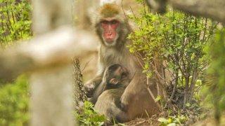 macaco-japones-zoologico
