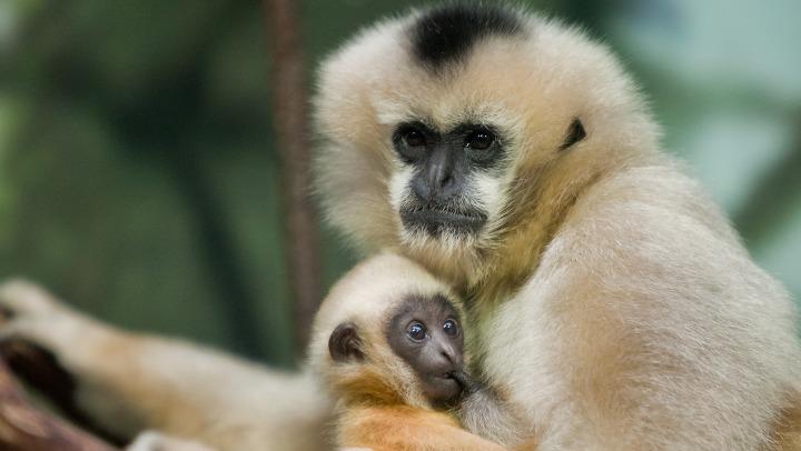 Baby boy gibbon