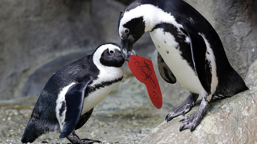 In this Feb. 12, 2019, file photo, an African penguin carries a heart shaped valentine handed out by aquarium biologist Piper Dwight to its nest at the California Academy of Sciences in San Francisco.