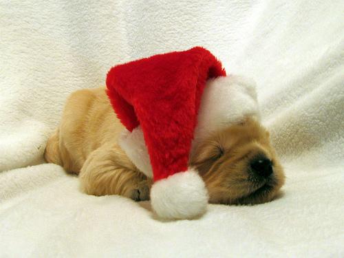 puppysantapaws