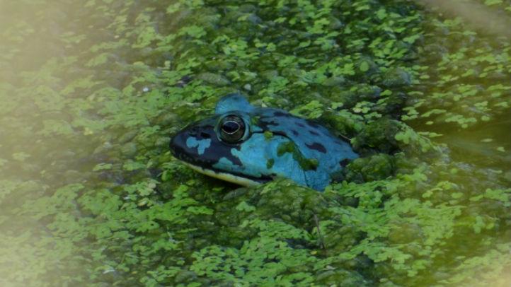 rare blue frog