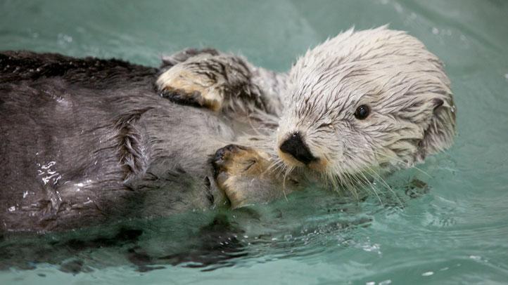 shedd-otter-kenai