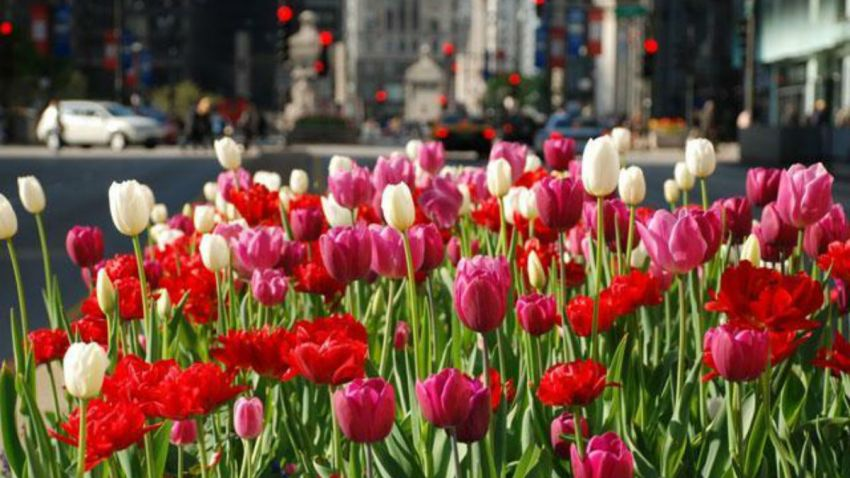 spring-chicago-flowers
