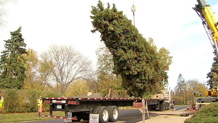 theiszmann-tree-cut-1