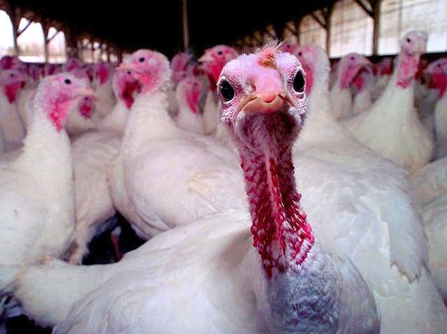 turkeysfix
