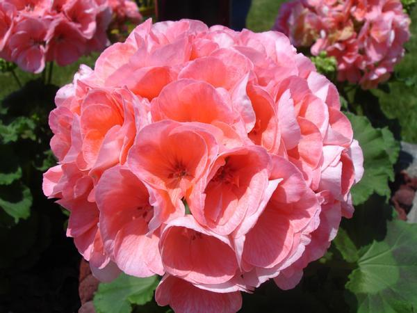 [UGCCHI] Geranium in Bloom