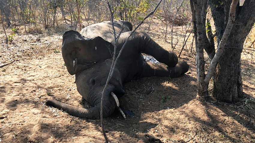 A dead elephant is seen in Hwange National park, Zimbabwe, Saturday, Aug. 29, 2020. A spokesman for Zimbabwe's national parks said on Wednesday, Sept. 2 the number of elephants dying in the country's west from a suspected bacterial infection, possibly from eating poisonous plants, has risen to 22 and more deaths are expected.
