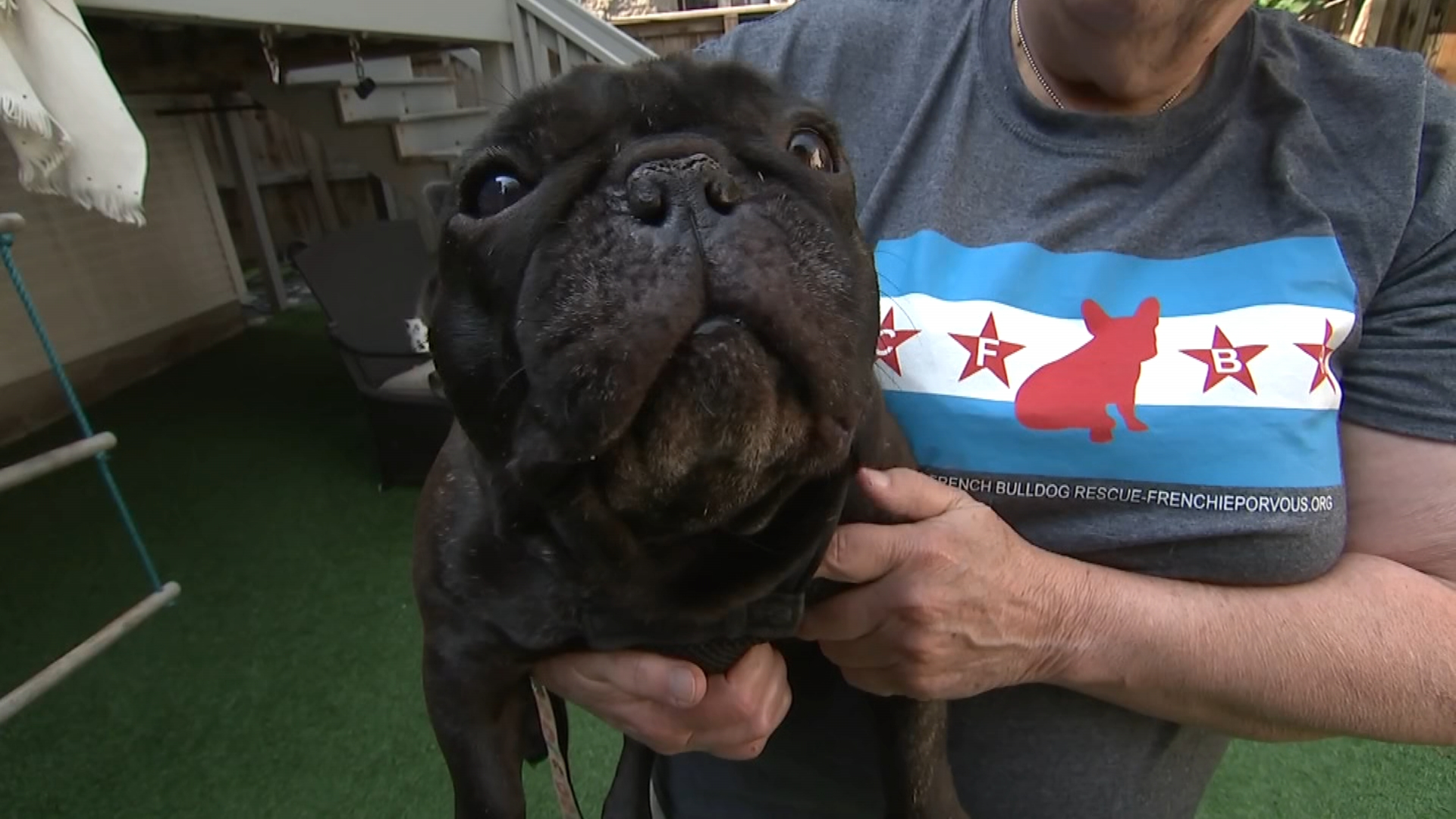 Rescued French Bulldog Puppies To Be Placed In Foster Homes After Quarantine Nbc Chicago