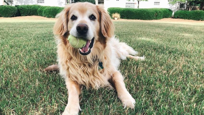 Charlie, a golden retriever.