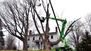 Micum Davis is suspended in the air while working to cut down a sugar maple tree, in Kensington, N.H., Monday, April 5, 2021. The 100-foot-tall tree, believed planted in the late 1700s, was cut down for safety reasons.