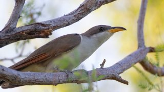FILE - In this July 8, 2019, file photo provided by the United States Fish and Wildlife Service, shows a yellow-billed cuckoo. U.S. wildlife managers have set aside vast areas across several states as habitat critical to the survival of a rare songbird that migrates each year from Central and South America to breeding grounds in Mexico and the United States. The U.S. Fish and Wildlife Service announced the final habitat designation for the western yellow-billed cuckoo on Tuesday, April 20, 2021.