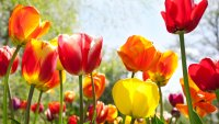 Looking for Flowers? Tulip Giveaway Sunday at Garfield Park Conservatory