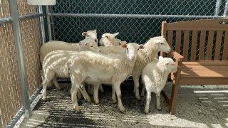 Lambs found in backyard