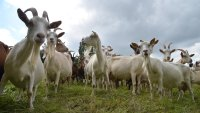 Goats Hired by California Energy Provider for Wildfire-Fighting Pilot Program