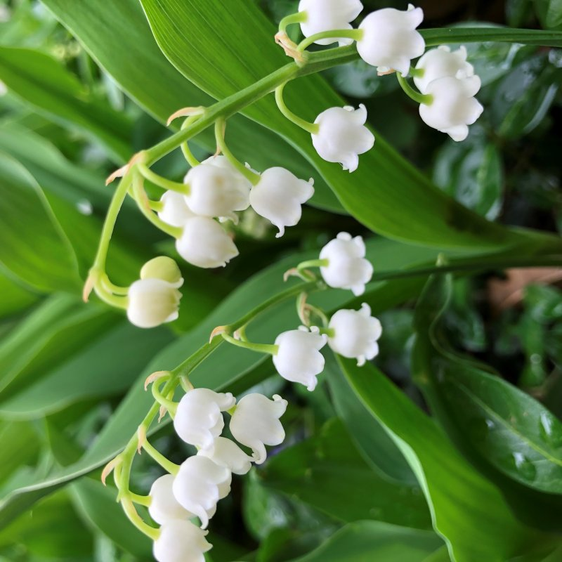 Photos: Lilly of the Valley Flowers Bloom in the Chicago Area