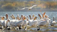 Illinois Proving Popular Route for American White Pelicans