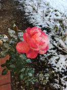 [UGCCHI-CJ-gardens]last bloom on my rose bush in Palatine