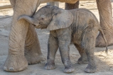 """A Special Elephant Day """"Herd Photo Op"""" One-day-old Baby Elep"""