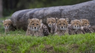 Cheetah-Cubs-Safari-Park