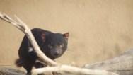 SD-Zoo-Tasmanian-Devils-031518