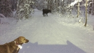 Escaped Rodeo Cow Evades Capture on Alaska Trails
