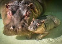 Video Shows Man Smack the Rear of Hippo at LA Zoo