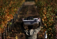 Calif. Wineries Eager to Make Up Losses After Disastrous Wildfires